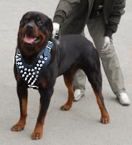 Spiked leather dog harnesses H9 for Rottweiler