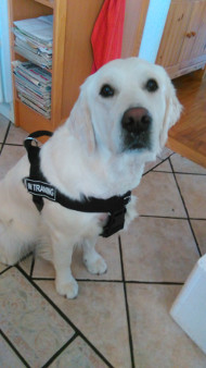 Lightweight Nylon Harness for Labrador