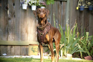 Super Luxury Handcrafted Padded Leather Harness for Doberman