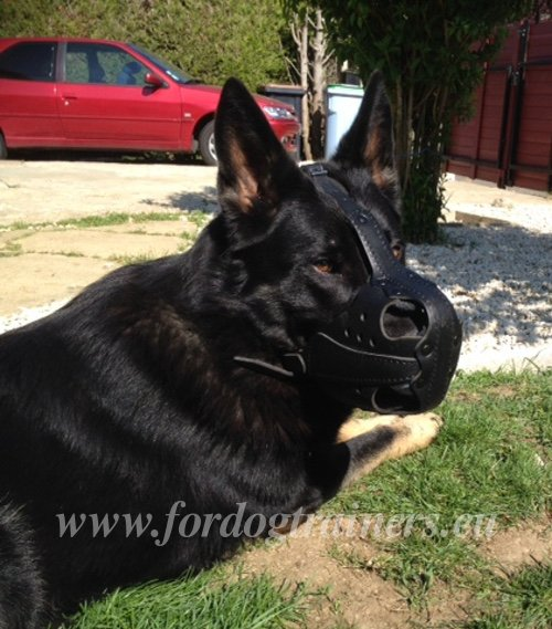 German Shepherd with Leather Muzzle On