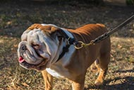 Slip Dog Collar for English Bulldog | Bulldog Choking Collars