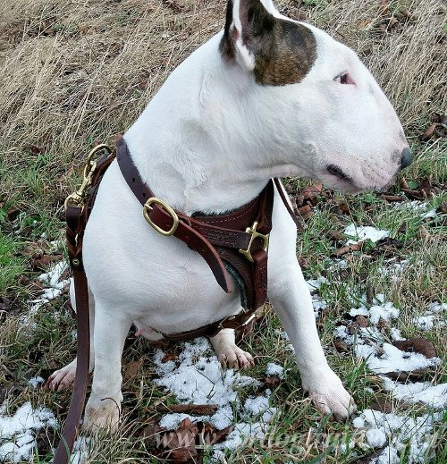 Leatehr Dog Lead for English Bullterrier