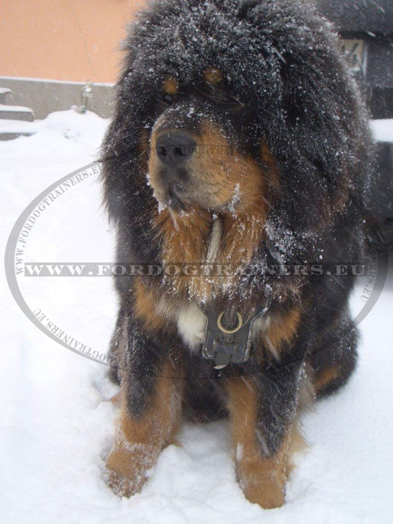 Leather Dog Harness with Padded Plates for Tibetan Mastiff [H10 ...