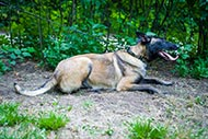 Cool Wide Collar for Belgian Malinois