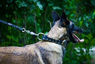 Belgian Malinois Spiked Collar with Nappa