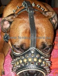 Leather Muzzle for Amstaff with Bright Decoration