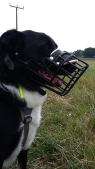 Solid Basket Muzzle with Rubber Cover for Border Collie