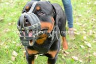 Padded leather dog muzzle for Rottweiler