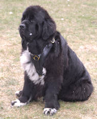 Newfoundland Luxury Handcrafted Padded Leather Harness
