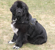 Newfoundland Nylon multi-purpose dog harness H6