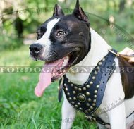 Harness Luxurious for Amstaff | Dog Harness Leather and Brass