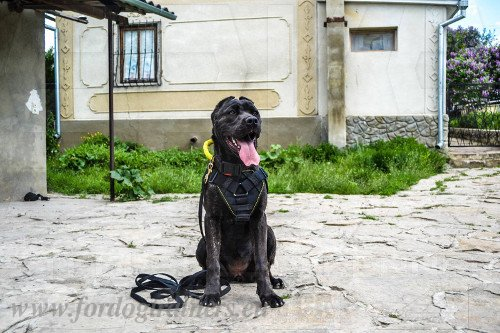 Training Collar with Handle for Bandog