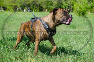 Leather Harness for Boxer Trainig | Leather Agitation Harness&#1