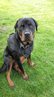 New Functional Nylon Harness for Rottweiler