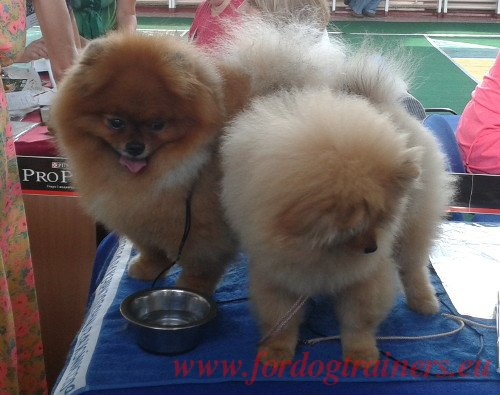 Beauty Show Fluffy Dogs