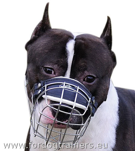 Wire Basket Muzzle on Amstaff
