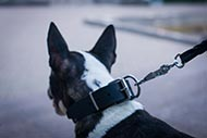 Original Leather Collar for Bull Terrier