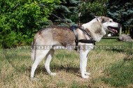 Leather Harness for Siberian