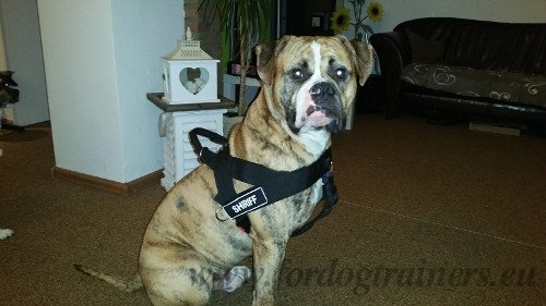 Lightweight Multifunctional Harness for American Bulldog