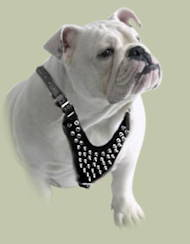 Spiked leather dog harnesses for English bulldog