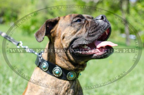 Boxer leather collar luxurious with elegant decoration