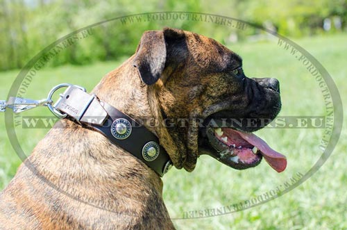Durable collar for Boxer decorated with rings