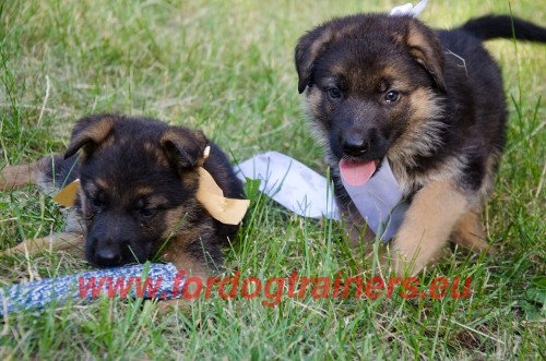 Care for German Shepherd Puppies