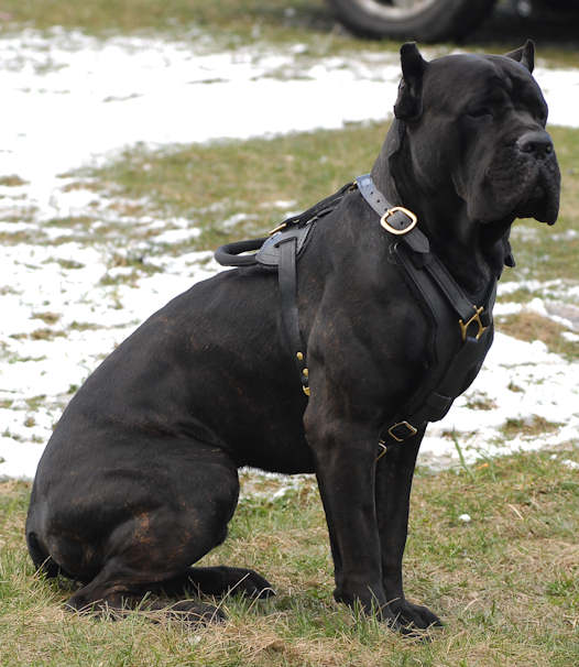 Dog Harness Leather And Brass For Italian Mastiff 959