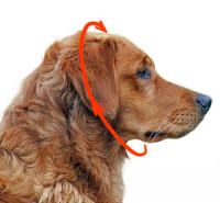 How to size the dog for a collar