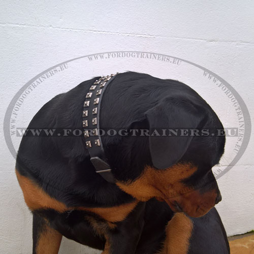 Studded Dog Collar Crafted for Rottweiler