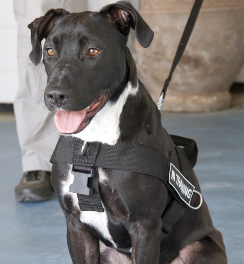Nylon Dog Training Harness for Pitbull - Click Image to Close