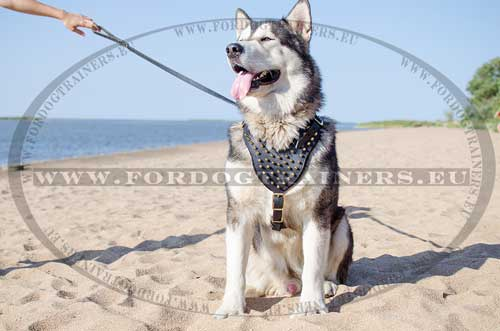 Spiked Harness for Malamute