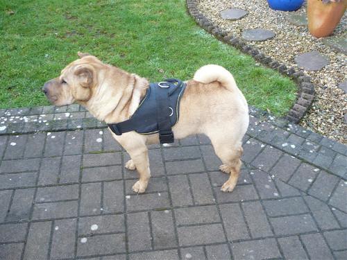 Nylon Harness For Shar Pei Training And Walking H6 1057 Pettorina In Nylon Per Shar Pei Dog Harness Dog Muzzle Dog Collar Dog Leash Bite Sleeves