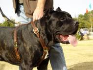Luxury Handcrafted Leather Large Harness for Cane Corso