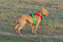 Cómo medir su perro para este arnés